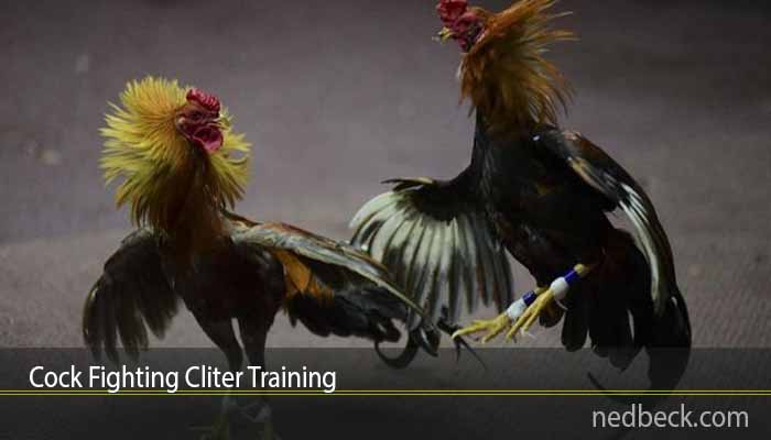 Cock Fighting Cliter Training